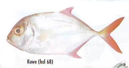Terdalam Budidaya Ikan Kuwe