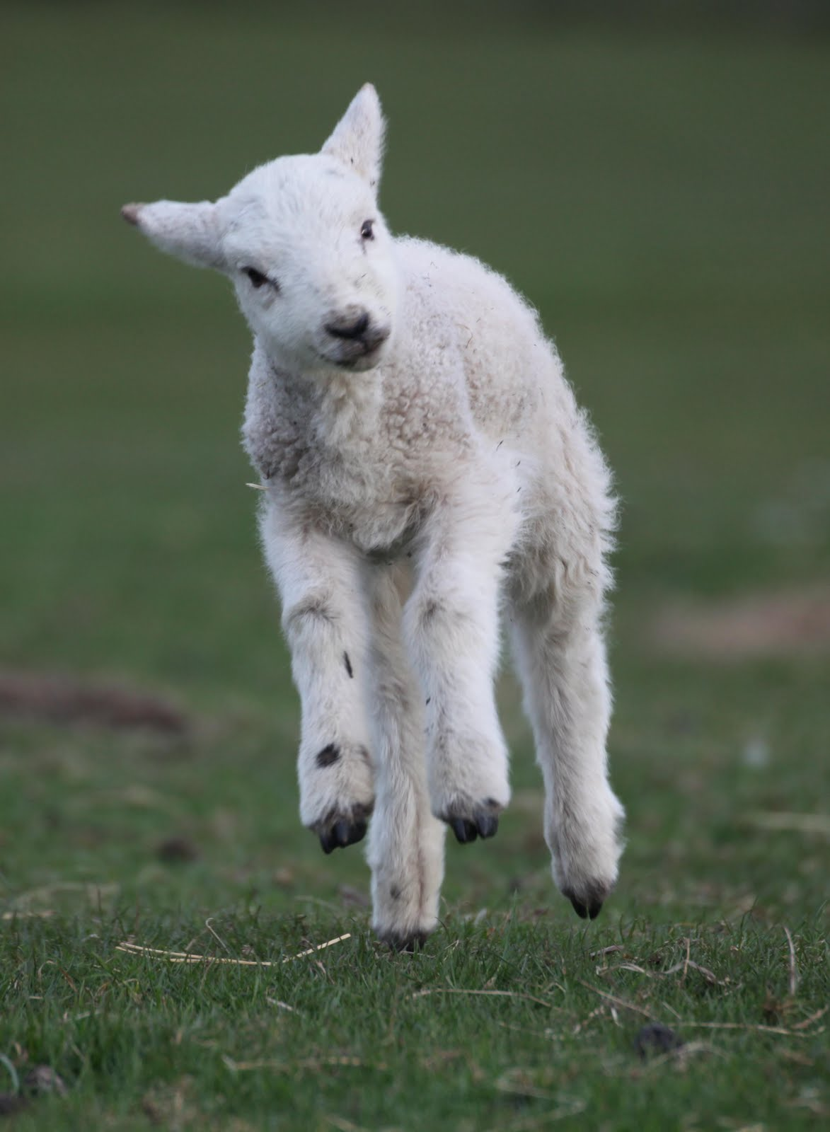 Caldertop Cottage Nature Diary: Spring Lambs 2010