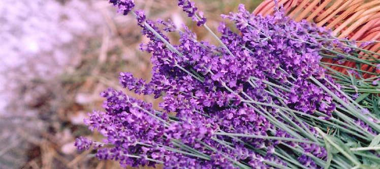 Image result for lavender Facial