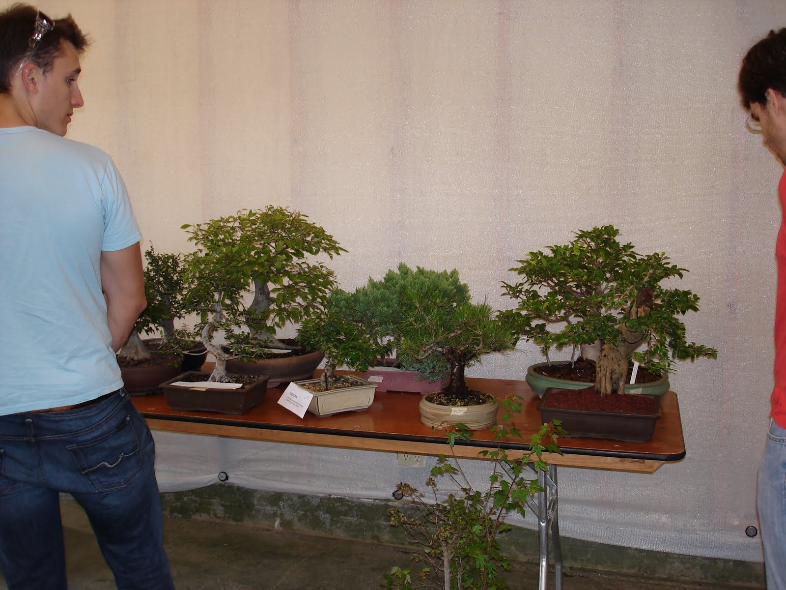 Bent Tree Bonsai Dallas Auction