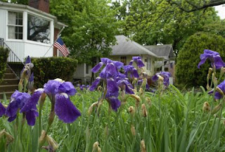 irises and flag