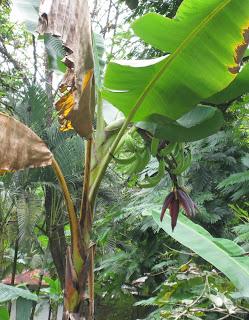 Bananenstaude mit Bananenblüte, Costa Rica