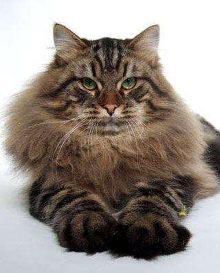 Siberian Cat Coat   To...