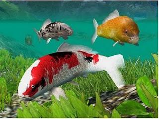 Fish collection koi koi fish pond 3d screensaver for Koi pond screensaver