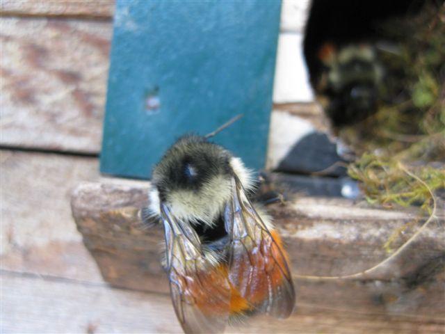 Bumble bees in bird house - Beediverse Mason Bees