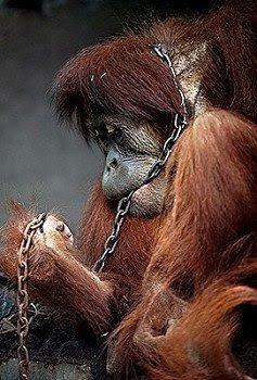 Chimpanzee Information: Orangutans Threatened by Illegal ...