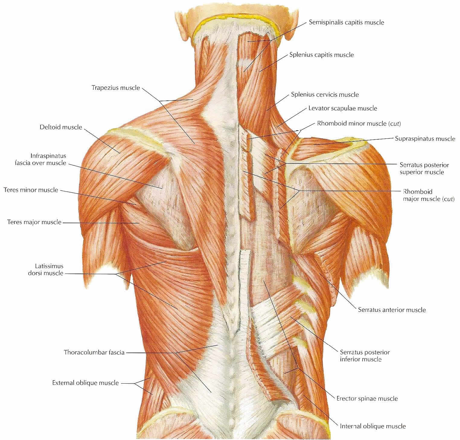 Back Muscles Pictures 11