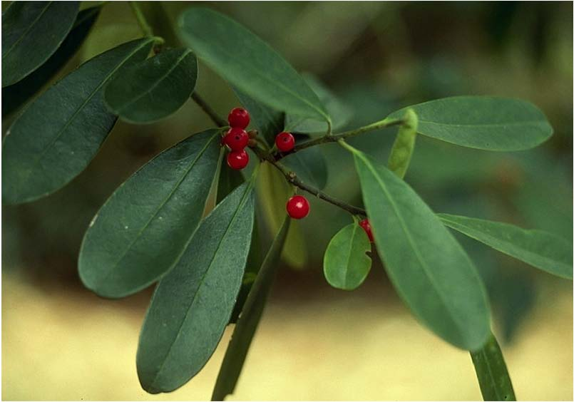 Beechwood Landscape Architecture And Construction Featured Plant Of The Day Possum Haw Holly