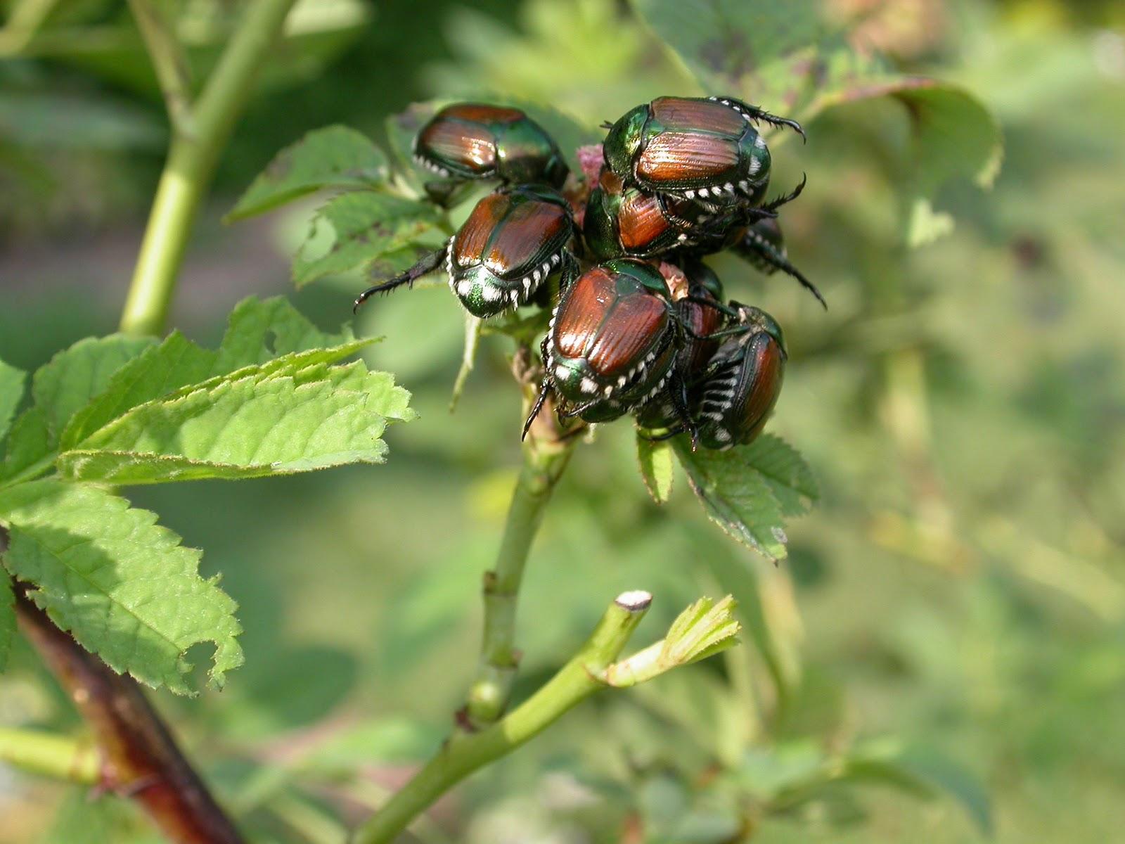 Asian Beetles Control 119