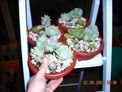 Vivero sanssouci formas de presentaci n de las plantas for Vivero de plantas exoticas