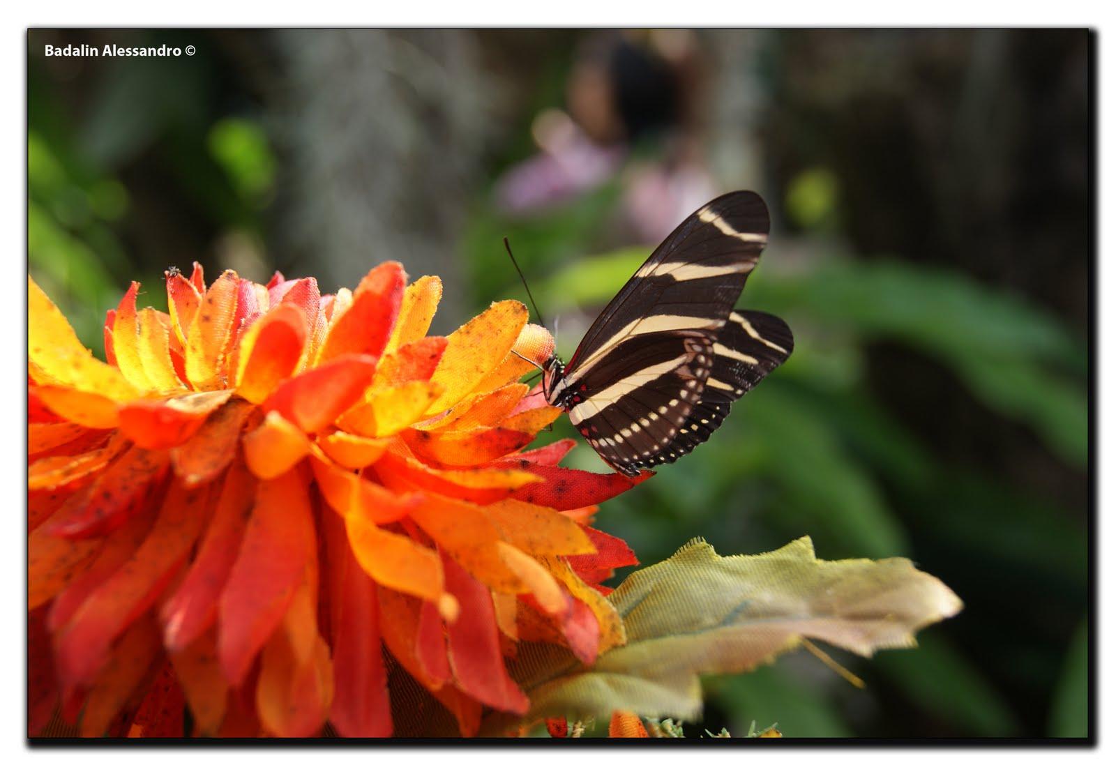 Tutto sulla natura farfalle for Immagini farfalle per desktop
