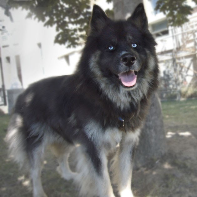 One Bark at a Time: Daily dog: unnamed Keeshond
