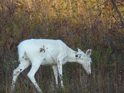 White Deer Best Animals