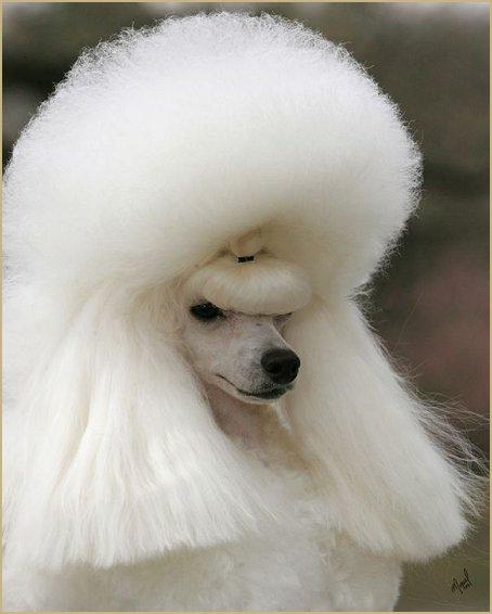 PETS: Poodle