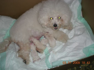 Animals That Give Pause: Bichon Frise Puppies Pictures