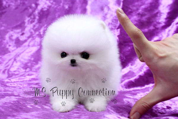 New York Teacup Puppies For Sale Pomeranian Puppies New York