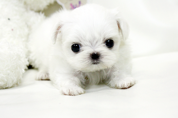 maltese puppy for sale in ny new york teacup puppies for sale maltese puppies new york 2875