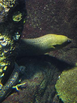 Dinosaur eel - photo#45
