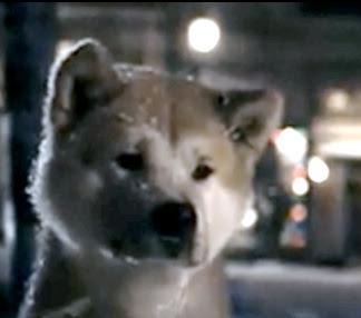 Hachiko est un chien Akita