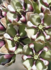 Yavapai Gardener: Native Plant Database