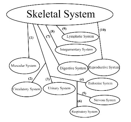 Anatomy/Physiology Assignments: Skeletal System Graphic