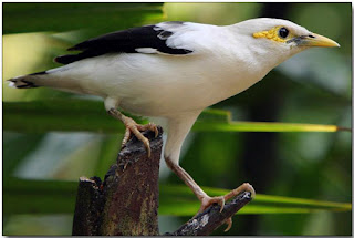 Burung Jalak Putih Artikel Gakkum Lhk