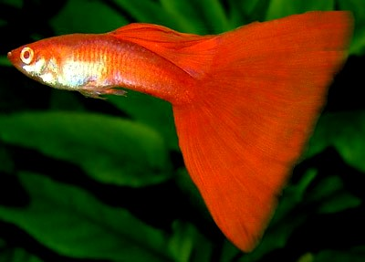 Fancy  fish aquarium   water quality and conditioning |