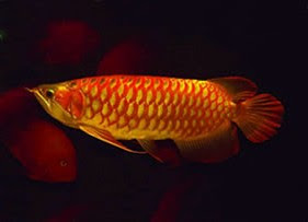 medium sized arowana