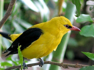 Golden oriole in Nigeria