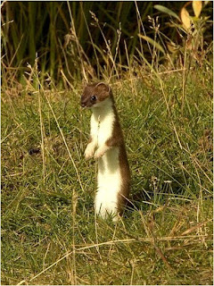 Stoat is found in Croatia