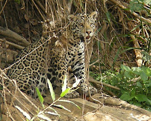 Jaguar, The Pantanal Oct 2008