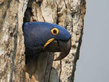 Hyacinth Macaw, The Pantanal Oct 2008