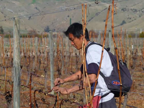 Aquí uno de mis amigos haciendo el wrapping en los viñedos de Blenheim