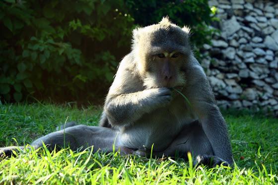 Un mono en Bali, Indonesia