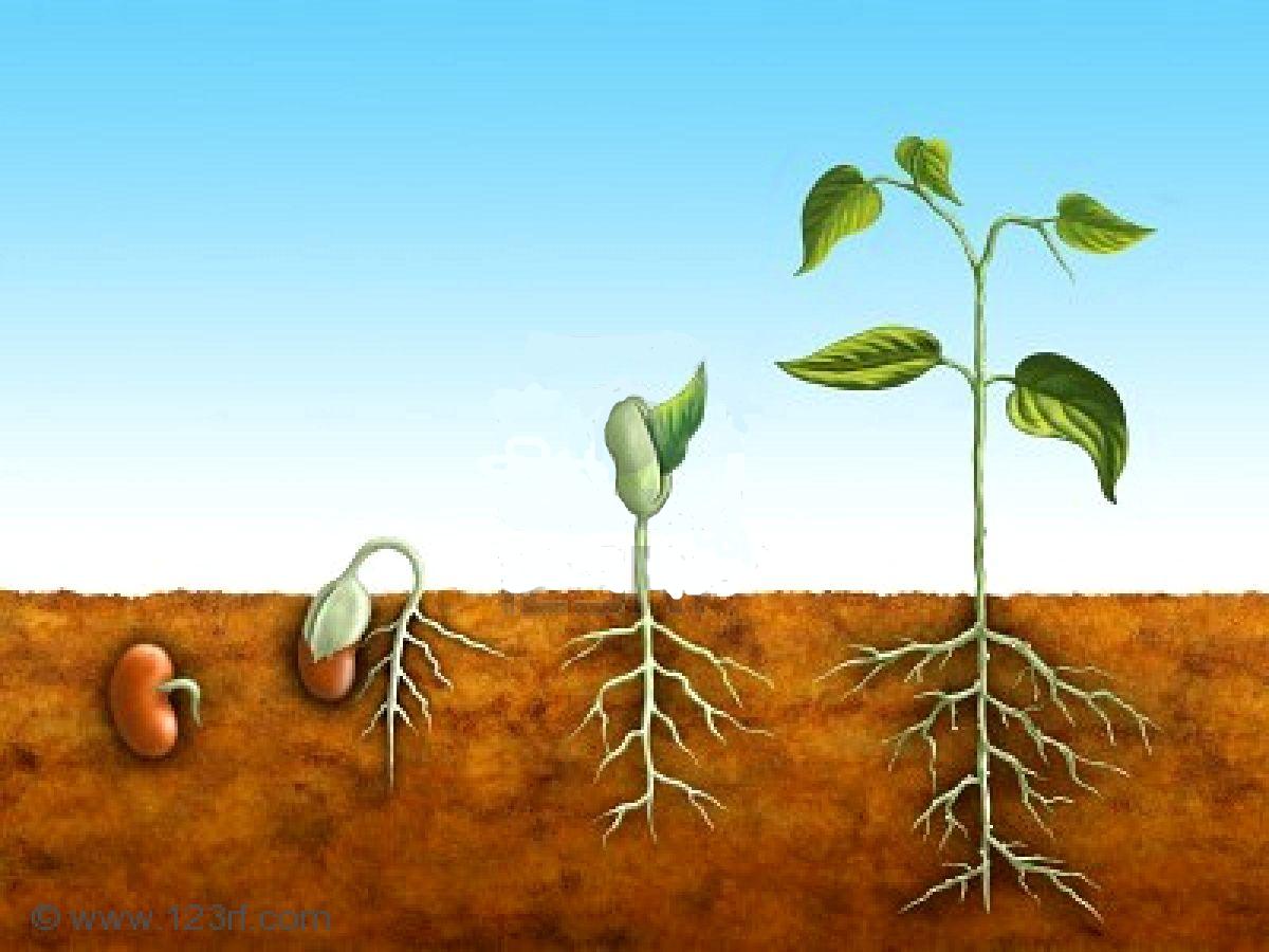 Plant Life Cycle Seed Worksheet