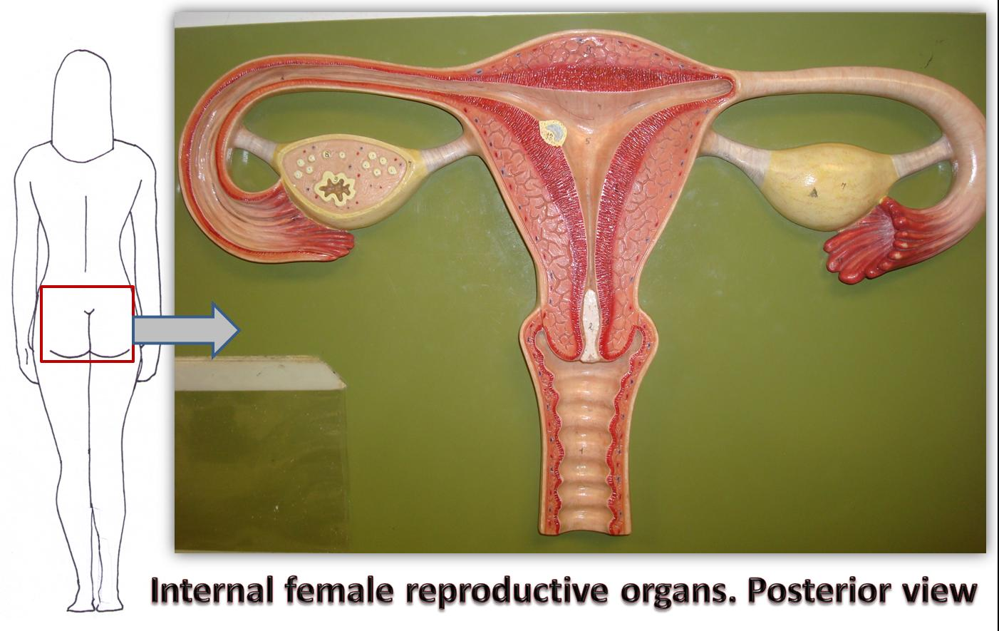 Female Reproductive System Sagittal View | Hot Girl HD ...
