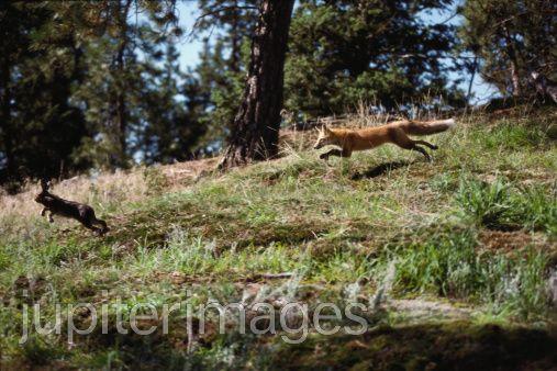 Fox chasing rabbit