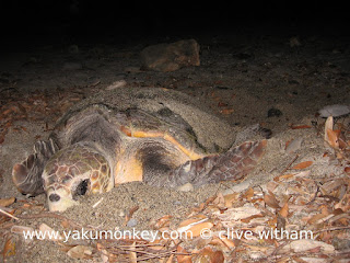 Loggerhead turtle on Yakushima