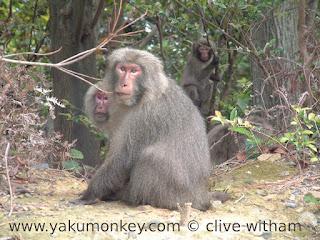 Yakushima macaques