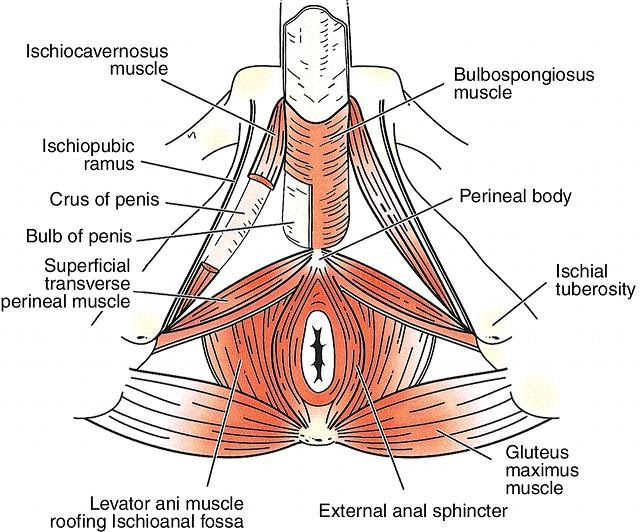 Muscles Of Penis 41
