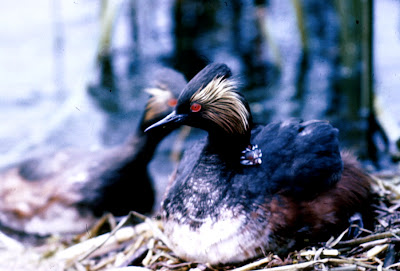 Eared Grebe in breeding plumage Courtesy of US Fish and Wildlife Service