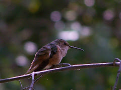 Allen's Hummingbird at El Dorado Nature Center in Long Beach