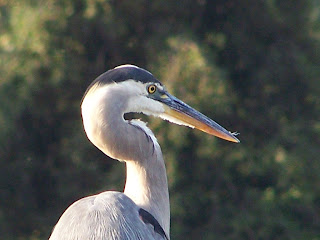 Great Blue Heron at Lake Balboa