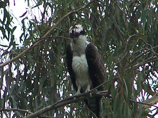 Immature Osprey Fishing at Tewinkle Park