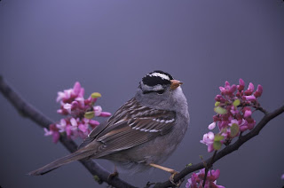 White-crowned Sparrow among the Flowers Courtesy of US Fish and Wildlife Service