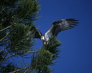 Osprey in pine tree Courtesy of the US Fish and Wildlife Service