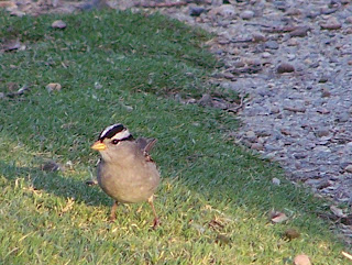 White-crowned Sparrow at Central Park by Alice's Breakfast in the Park