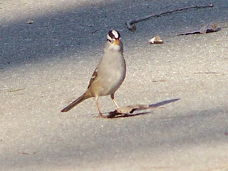 White-crowned Sparrow Huntington Central Park. Crown feathers raised