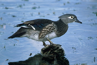 Wood Duck Courtesy of US Fish and Wildlife Service
