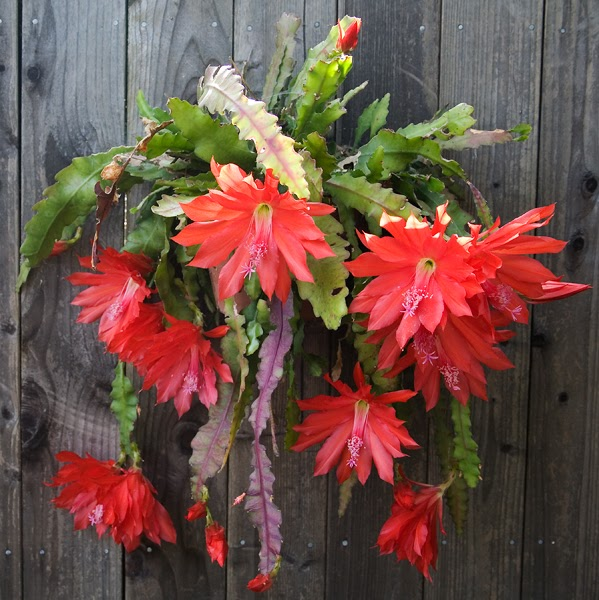 Garden Bliss: Red Orchid Cactus